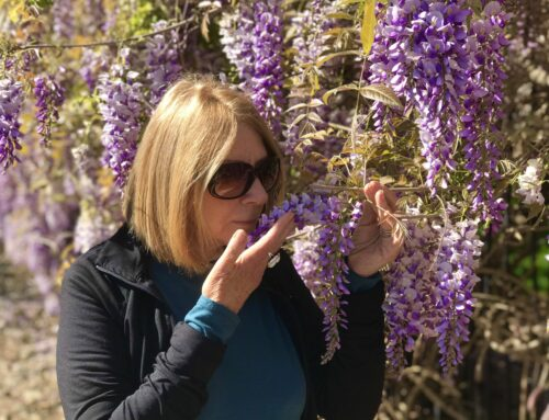 Take time to smell the Wisteria!